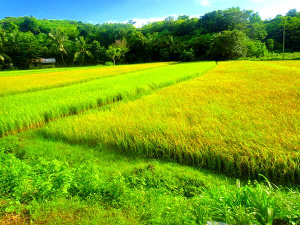 Rice fields in Guimaras