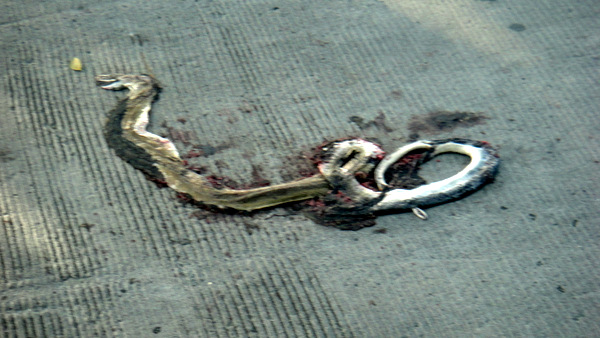 Road kill snake in Iloilo