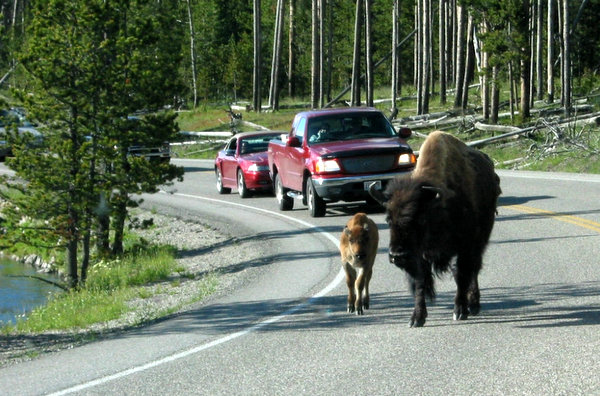 Bison crossing at Yellowstone