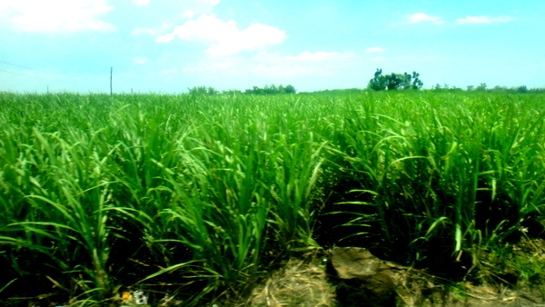 Sugar cane fields in Bacolod