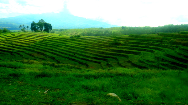 rice fields in Bacolod