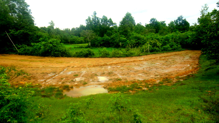 rice field on our guimaras property