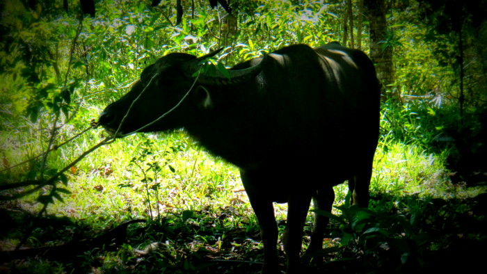 carabao in the philippines