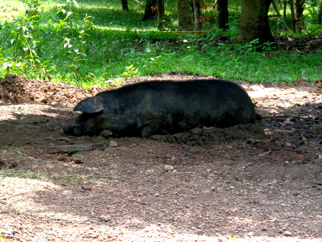big sow resting at wonder farms, guimaras
