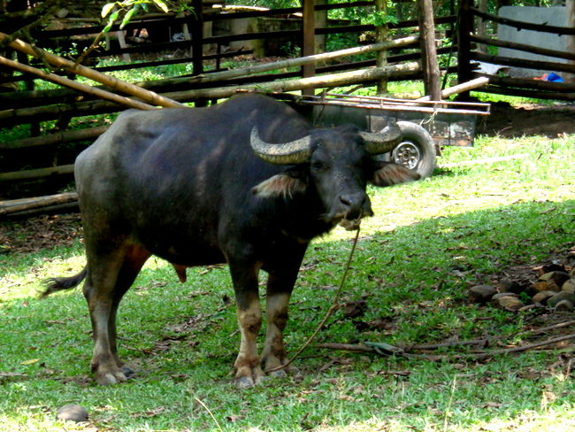 carabao at wonder farms, guimaras