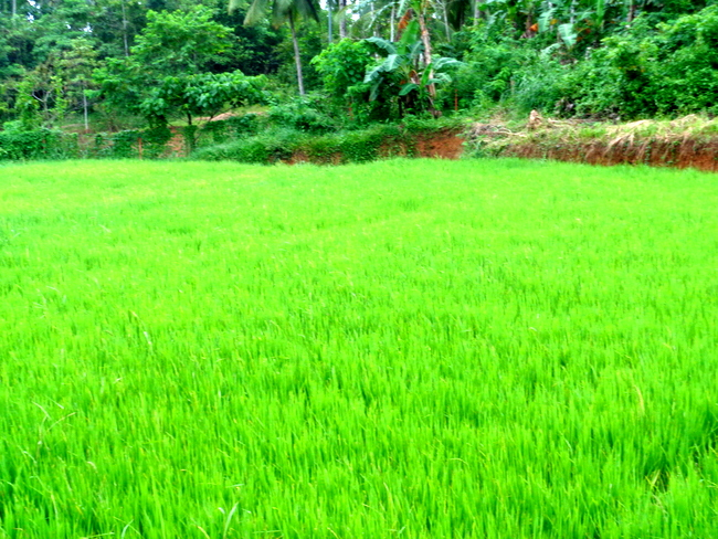 another look a rice field in the philippines