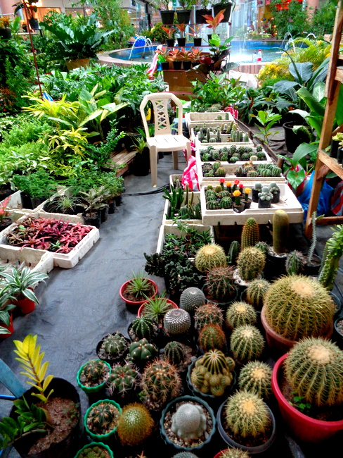 cactus plants at robinsons in iloilo