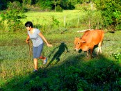 hulk the cow in guimaras, mango land