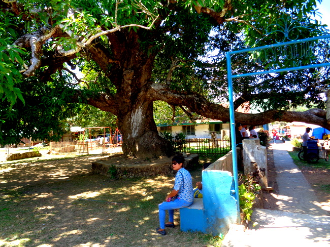 massive mango tree in guimaras where kapre lives