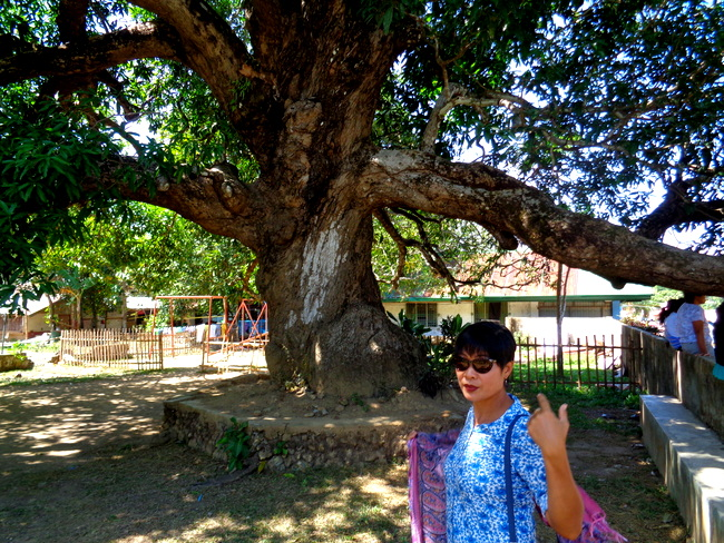 old mango tree in guimaras