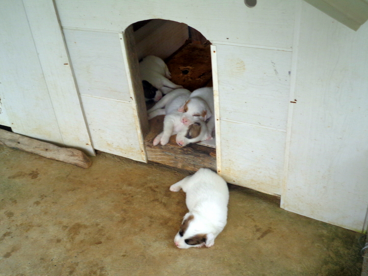 Adorable puppies in the Philippines - Philippines Pampered Perky Pups