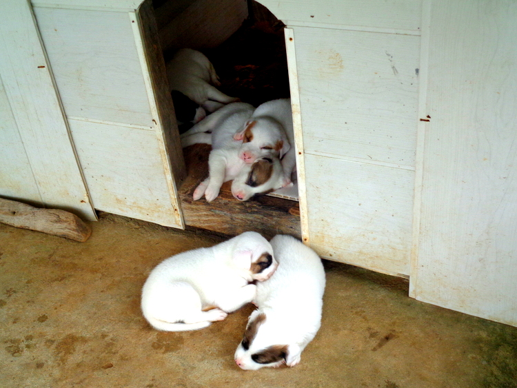Little pups with their eyes barely opened - Philippines Pampered Perky Pups