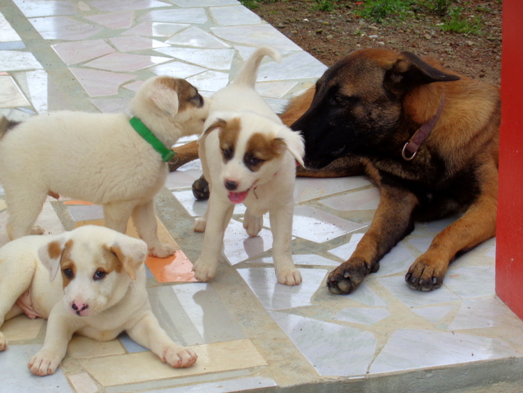 Uncle Killer loves the new puppies - Philippines Pampered Perky Pups