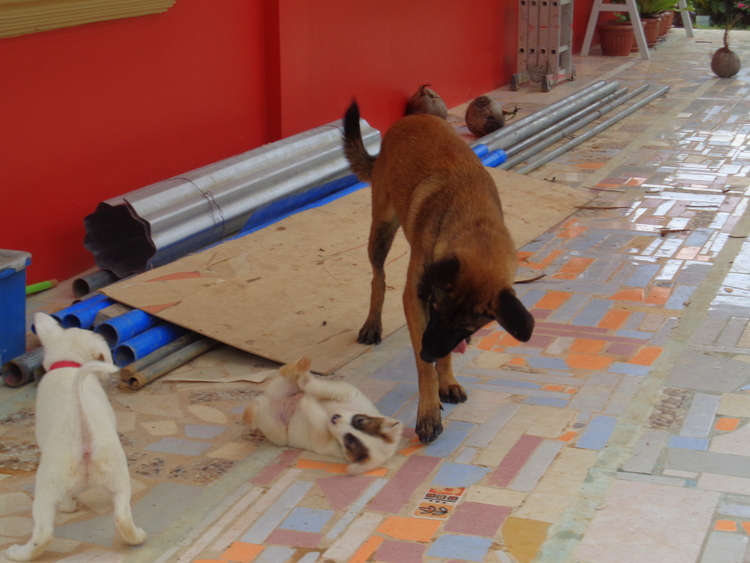 Uncle Killer plays with the puppies - Philippines Pampered Perky Pups