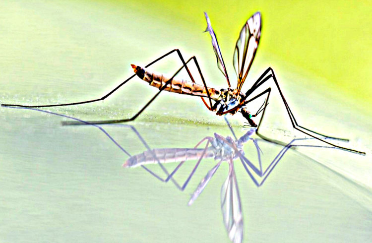 Mosquito and dengue fever - Teacher w/Third Eye Sees Dead Pupil