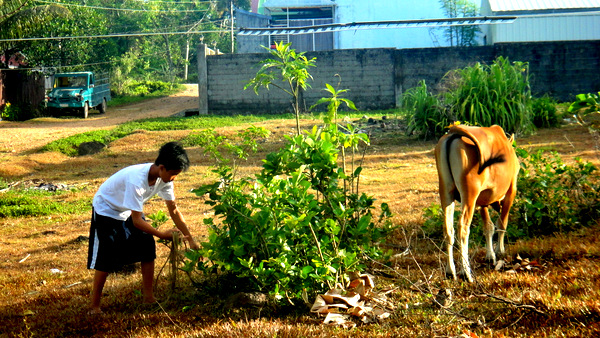 Sherwen tending the cow in Guimaras