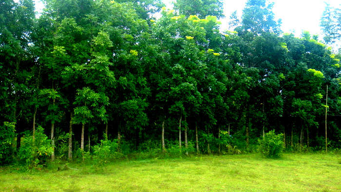 lots of trees on our guimaras property