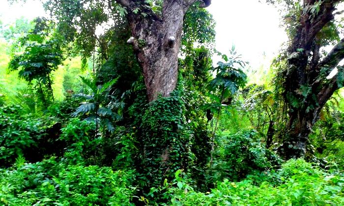 mango tree guimaras