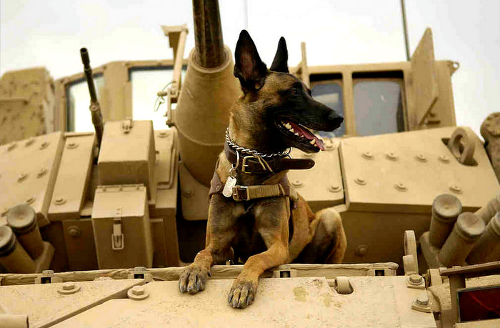 Belgian Shepherd Malinois on top of tank - Belgian Shepherd Dog (Malinois) - Wikipedia