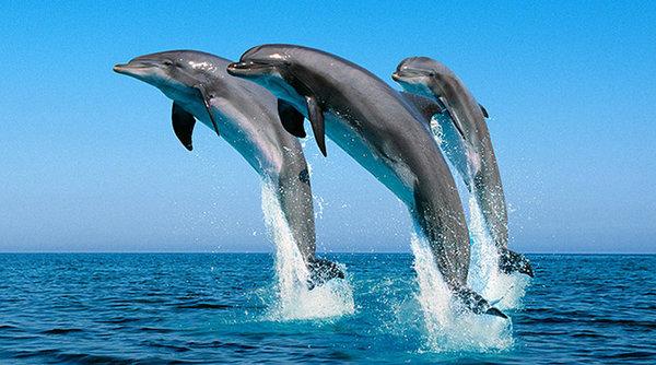 dolphin dumagete