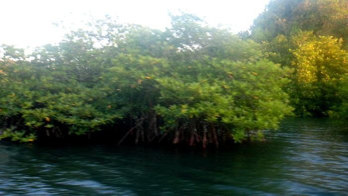mangroves around Guimaras (2)