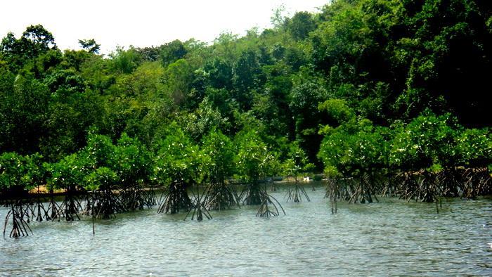 mangroves around guimaras