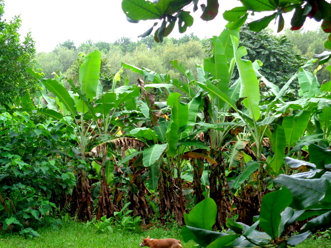 a closer look at banana trees in guimaras