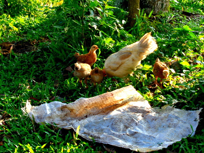 baby chicks and mother hen in the philippines