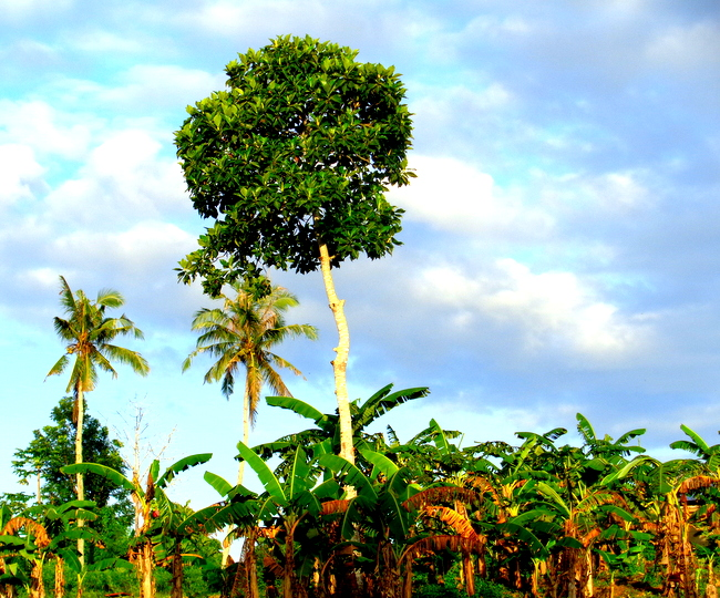 banana trees in the philippines