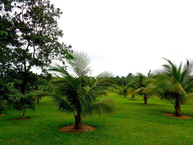 coconut trees in guimaras