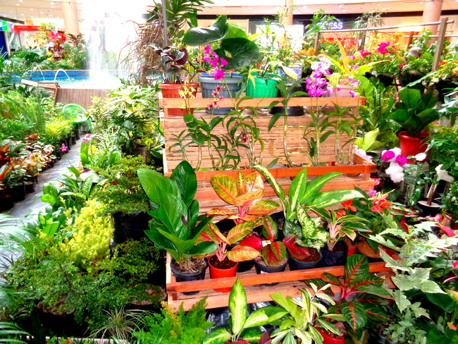 fine assortment of plants and flowers at robinsons, iloilo