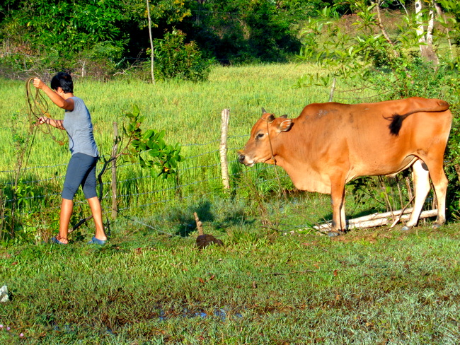 hulk the cow gets relocated in guimaras, the philipines