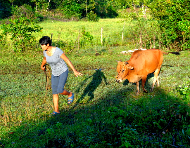 hulk the cow in guimaras mango land