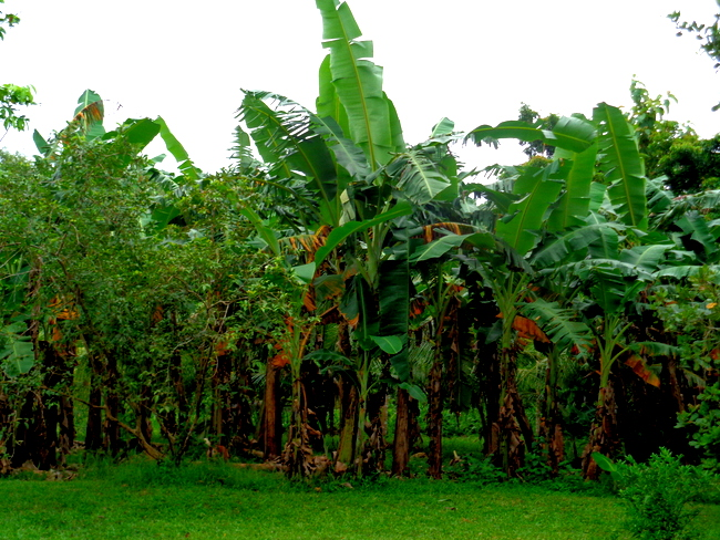 lots of banana trees