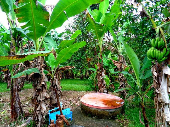 more banana trees