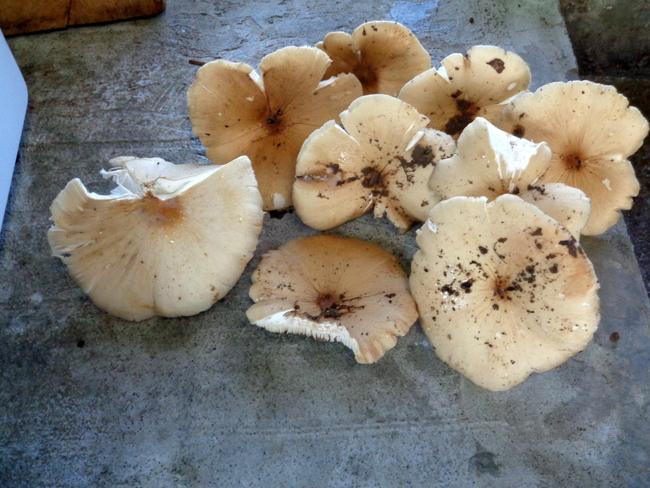 mushrooms in the philippines