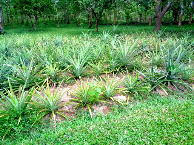 pineapples in guimaras