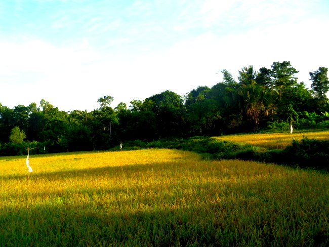 rice field ready to harvest in philippines, guimaras