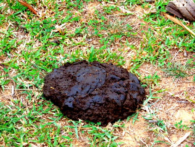 fresh cow poop from Guimaras