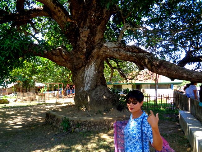 old mango tree in guimaras
