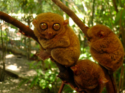 The Tarsier Sanctuary in Bohol