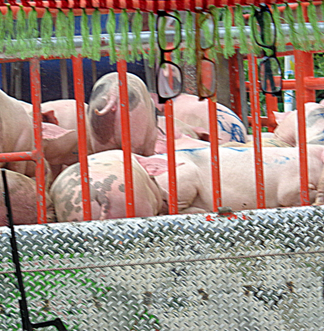 close up of the smelly pigs in the philippines