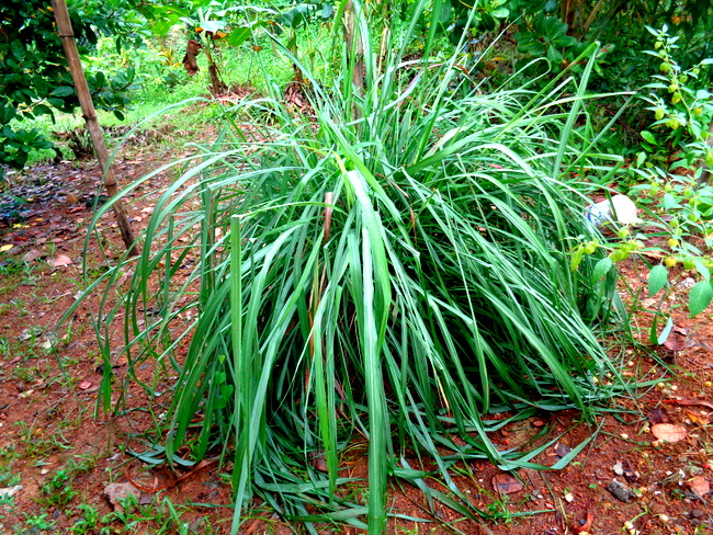 citronella-plant-by-nipa-hut