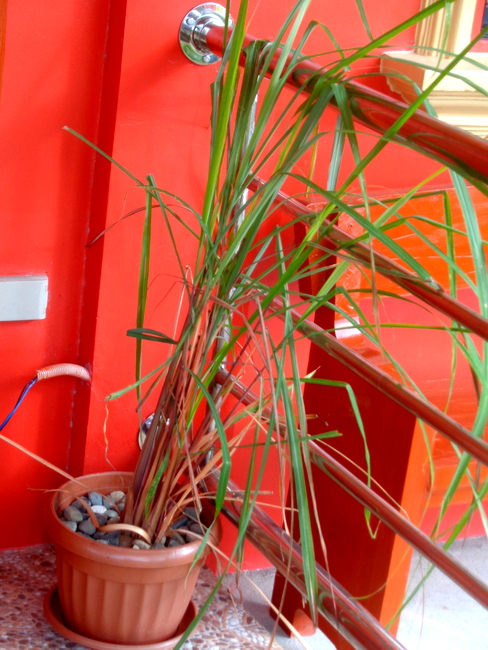 citronella-plant-philippines-front-entrance