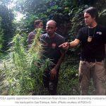 American growing marijuana busted; Guimaras next PDEA target?