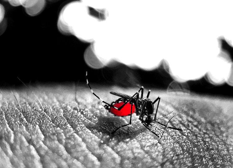 Busy Animals Blood Free photo on Pixabay - Dengue Exceeds Epidemic Threshold
